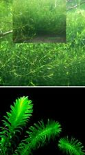 Nadelkraut + Wasserpest Sortiment Teichpflanzen blühende Pflanzen für den Teich