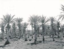 KERBELA c. 1960 - 2 Photos Palmeraie Dattiers Irak - Div 12606
