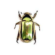 Real Framed Chrysina Resplendens Gold Scarab Beetle 2433