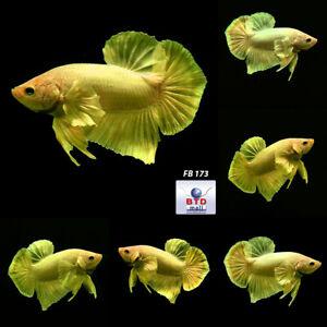 Male Betta Fish FB173 Gold Dumbo HMPK Spade Tails Premium Rare