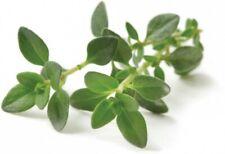 Seeds Thyme Herbs Garden Antiseptic Medicinal Plant Perrenial Organic Ukraine