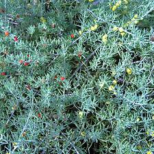 Enchylaena tomentosa Ruby Saltbush native plant in 50mm pot