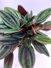 Peperomia Rosso Tropical Vivarium Terrarium House Plant