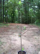 4'-5' live Yellow Delicious Apple Fruit Tree Plants 5 Gal. Trees Sweet Apples !!