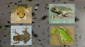 20+ Live Tree Frog Tadpoles Random FREE SHIPPING - Science Pond Algae Eater