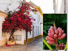 Zwei wahnsinnig schöne Pflanzensorten für drinnen: Rosa Banane und Flammenbaum !