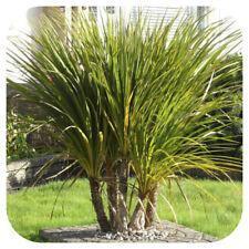 Cordyline Australis (Cabbage Palm) Large Plug Plants x 3 Evergreen Shrub