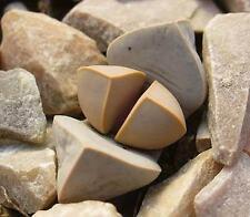 Lapidaria Margaretae Seeds - Karoo Rose Living Stone