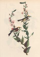 JOHN J AUDUBON 1937 Book Print CHESTNUT-SIDED WARBLER Birds of America Painting