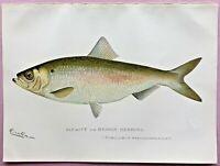 1897 RARE Antique DENTON FISH Print ALEWIFE or BRANCH HERRING Pomolobus L@@K!