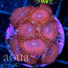 New listing Asd - 055 Super Meatboy Zoanthids - Wysiwyg - Aqua Sd Live Coral Frag