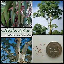 100+ RIVER RED GUM TREE SEEDS (Eucalyptus camaldulensis) Native Hardy Bonsai