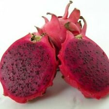 "Bloody Mary Dragon Fruit 12"" Inch Fully Rooted"