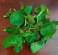 BERRO DE AGUA  Nasturtium officinalis  mejorado 2000 Semillas - seeds
