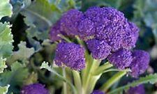 "Purple Sprouting Broccoli ""Brassica Oleracea"" 200 Seeds Heirloom"
