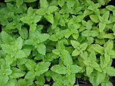 Zitronenmelisse 1500 Samen -  Heilpflanze , Gewürz , Teepflanze Melisse