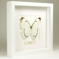 Real taxidermy butterfly mounted in white wooden frame - Morpho Luna