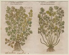 JOHN GERARD BOTANICA MATTHIOLI 1597 CAPELLI DI VENERE PIANTE ACQUATICHE