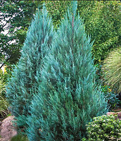Blue Point Juniper, Juniperus Chinensis, 4 INCH, EVERGREEN