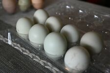 6 ameraucana hatching eggs