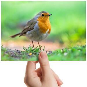 "Beautiful Red Robin Bird - Small Photograph 6"" x 4"" Art Print Photo Gift #15509"