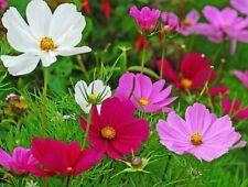 Cosmos Sonata Mix 75+ Seeds Cut Flower Garden, Cottage Garden Free Shipping