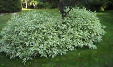 Cornus alba Elegantissima seeds. 30+Seeds of a decorative bush frost-resistant