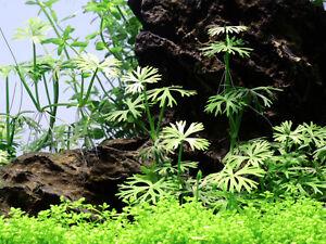 Tropica / Dennerle In Vitro ranunculus inundatus Flusshahnenfuß Wasserpflanze