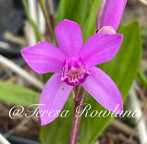 Bletilla Striata Pink Hardy Ground Orchid 3 Bulbs USA