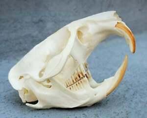 Real Gopher Skull, Animal Skulls and Bones, Oddities, Curiosities