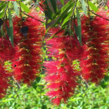 "Callistemon viminalis ""weeping Bottle Brush""  200 seeds Australian Native Tree"