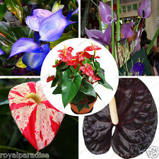 10 Seeds Anthurium Mixed Varieties imported Mixed Combo Seeds Pack