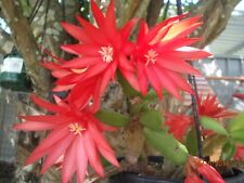 EC01 - Easter Cactus - Rhipsalidopsis Bright Red