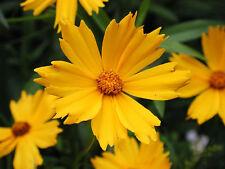 Lanceleaf Coreopsis, Tickseed Seed Very Good Cut Flower - Coreopsis lancolata