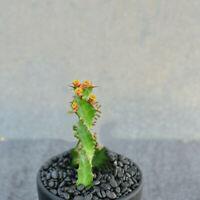 Succulent Cactus Live Plant - Euphorbia Tortirama 9cm(Single Head) - Rare Plant