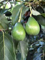 "Avocado Tree Cuttings ""Zutano"""