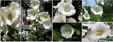 White Hollyhock Old Fashioned Biennial Flowers 25 Seeds