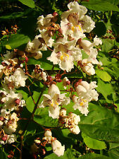 Indian Bean Tree, CATALPA BIGNONIOIDES, Summer flowering, hardy, architectural