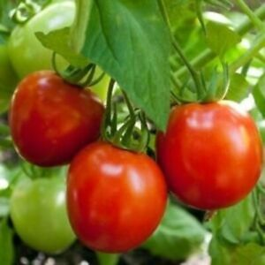 Moscow VR Tomato Seeds - Open-Pollinated for Seed Saving - Vegetable Seeds