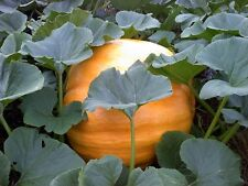 Pumpkin Seeds Dills Atlantic Giant 50 Seeds BULK SEEDS