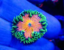 Live Coral Dreef Ultra Rock Flower Anemone Wysiwyg