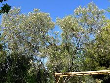 Desert Willow - CHILOPSIS LINEARIS - 10 Seeds - Trees
