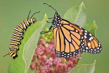 50+COMMON MILKWEED Monarch Butterflies Bees American Native Wildflower Perennial