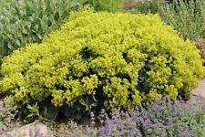 eine tolle, hellgrüne Pflanze: der wunderschöne FRAUENMANTEL !