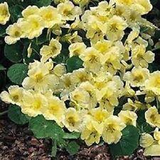 Nasturtium Lobbianum Yeti 25 Seeds Garden Seeds 2u