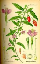 50 Semillas de Goji (Lycium Barbarum), plantas medicinales, seeds