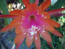 EPIPHYLLUM ulana COASTAL PRIDE ( NON ESTABLISHED- 15CM  cutting)