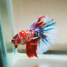 Live Betta Fish - Male - Fancy Multicolor Halfmoon (HFJUN64) (High-Grade)