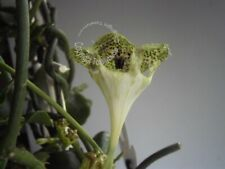Bouture Cutting CEROPEGIA Sandersonii Fleur originale Parachute