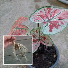 Caladium Bulb Queen of the Leafy Plant ''Fonyai'' Colourful Tropical Thailand